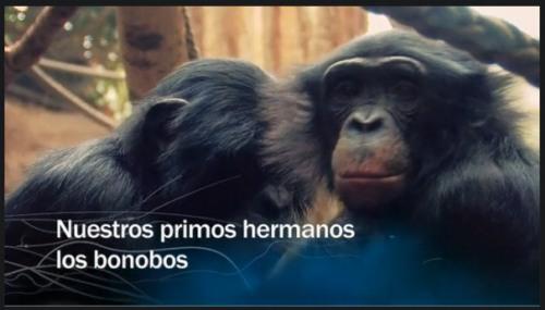 Los bonobos, nuestros primos hermanos