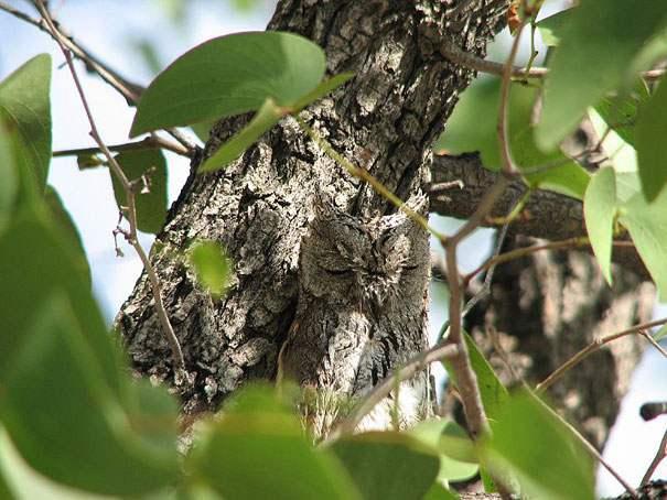 buho-escondido-en-su-habitat