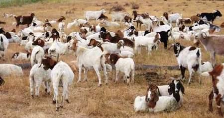 Acertijo-cabras