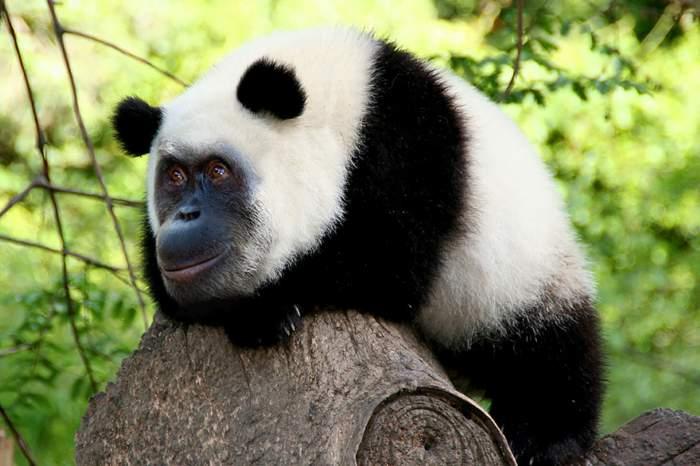 panda-fusionada