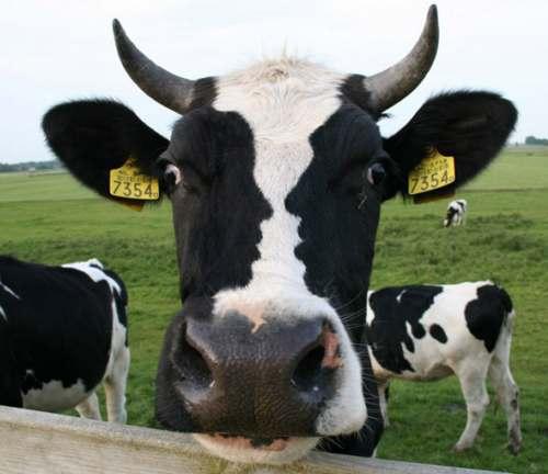 Ilusión visual. La vaca pensativa